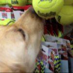 Esta Golden Retriever sofria maus tratos, mas foi resgatada e escolhe seu primeiro brinquedo da vida 1