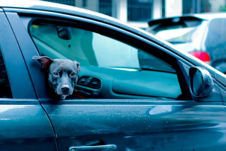 Uber leva cães que estão à espera de adoção até a casa de pessoas interessadas 2