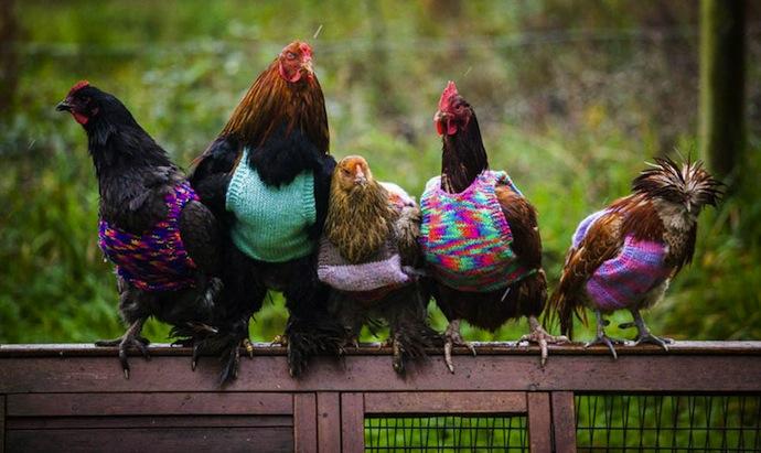 galinhas ganham tricôs