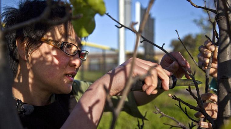 Grupo de guerrilha agrícola está secretamente transformando árvores ornamentais em frutíferas 2