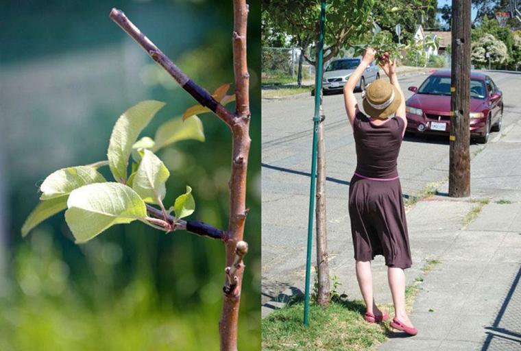 Grupo de guerrilha agrícola está secretamente transformando árvores ornamentais em frutíferas