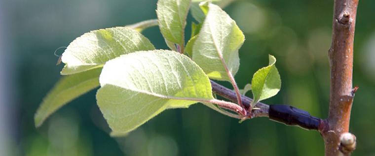 Grupo de guerrilha agrícola está secretamente transformando árvores ornamentais em frutíferas 7