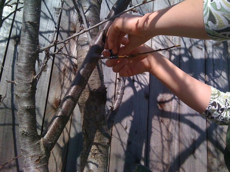 Grupo de guerrilha agrícola está secretamente transformando árvores ornamentais em frutíferas 8