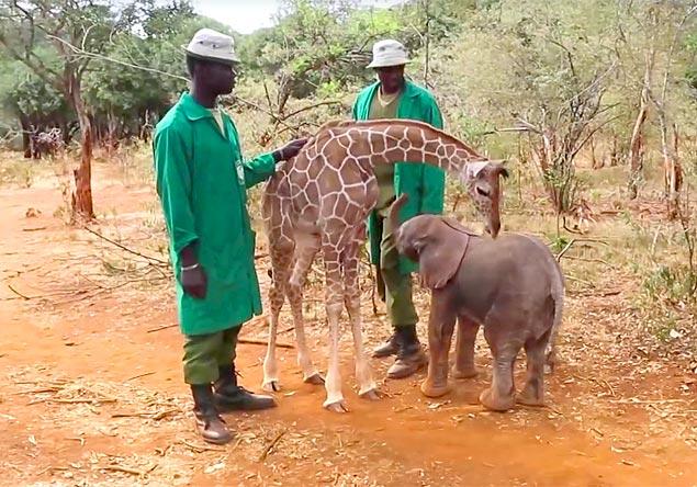 Vídeo mostra amizade entre filhotes de elefante e de girafa  no Quênia 3