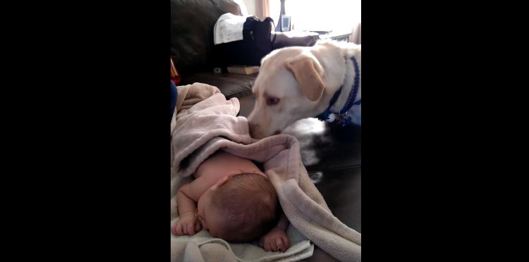 Labrador põe bebê pra ninar em vídeo mais fofo do ano 2