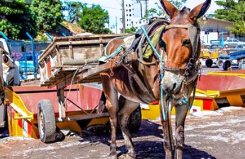 Prefeitura de Curitiba proíbe carroças puxadas por animais 1