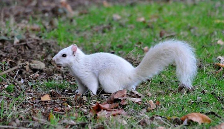 esquilo branco foi visto na Inglaterra
