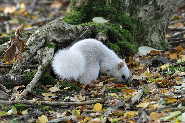 esquilo branco é raro de ser visto