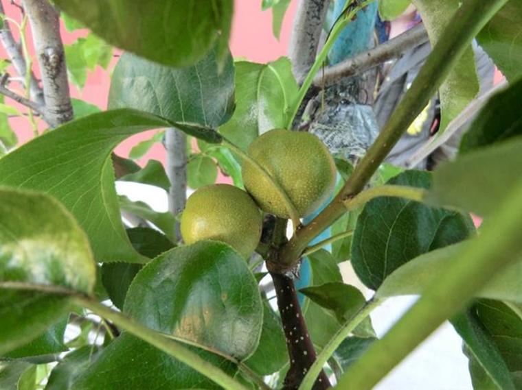 Grupo de guerrilha agrícola está secretamente transformando árvores ornamentais em frutíferas 6