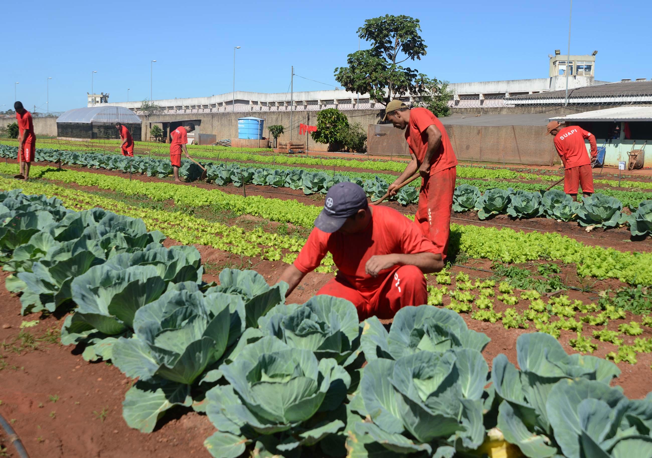 Presos em Uberlândia produzem até 400 caixas de legumes por mês