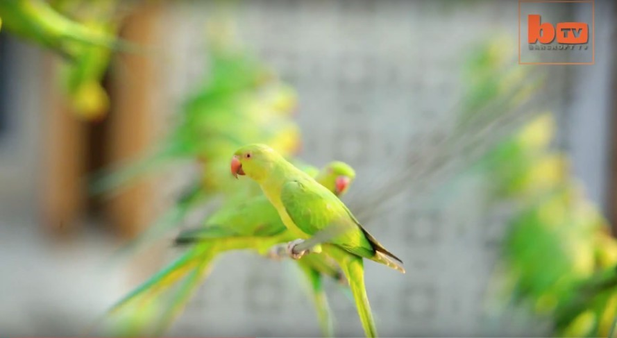 Chennai-India-Birdman-Feeds-Wild-Parakeets-Telephone-Lines-889x487