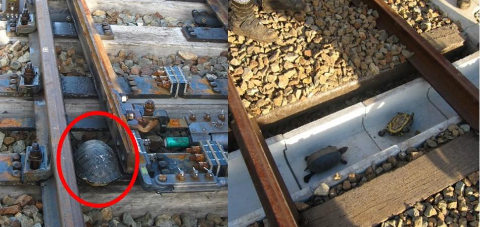 Japoneses criam túneis de passagens para tartarugas perto de seus trens 2