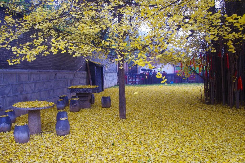 ginkgo_biloba_Templo_Budista_Gu_Guanyin_07