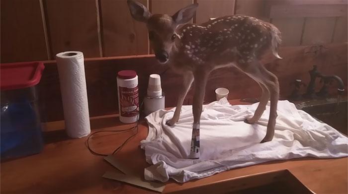 Bebê cervo resgatado por lituano não quer mais deixá-lo 3
