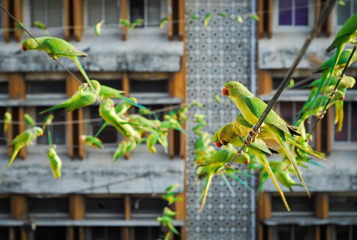 parakeets-1