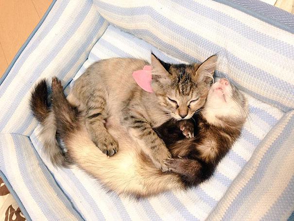 rescue-kitten-komari-ferret-brothers-42