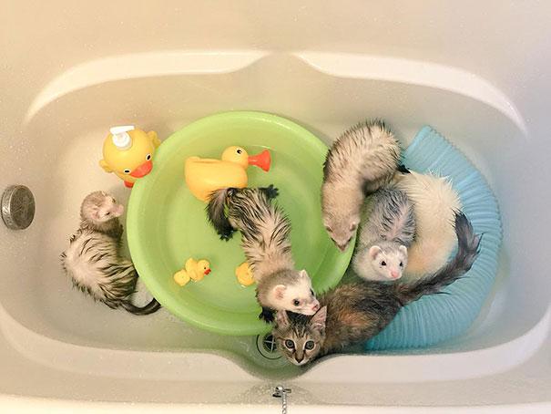 rescue-kitten-komari-ferret-brothers-44
