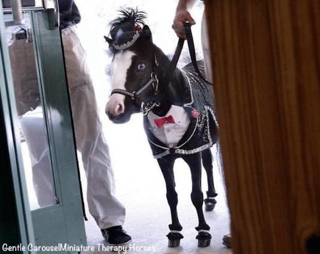 tuxedo-horse-640x508