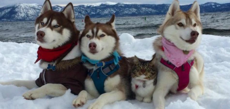 Huskies adotam gatinha e são a família mais fofa que você vai ver hoje 1