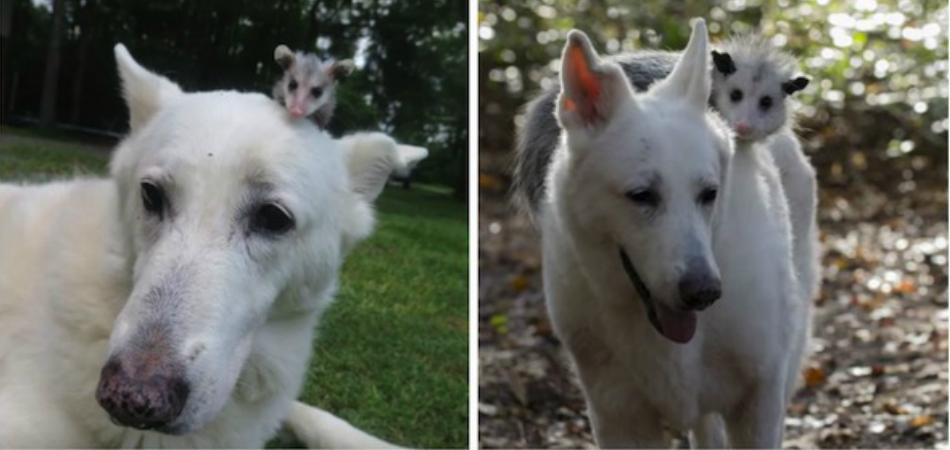 Após perder sua mãe, gambazinho solitário é adotado por cadelinha 2
