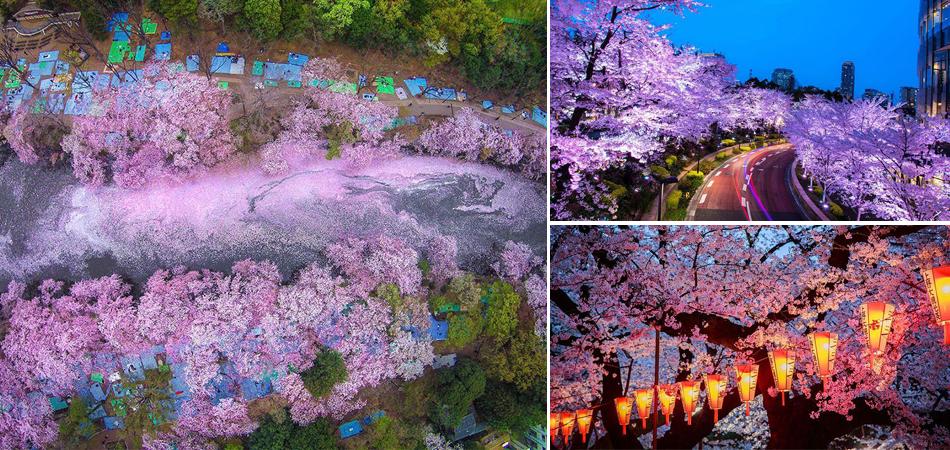 17 fotografias mágicas mostrando o florescimento das cerejeiras no Japão 1