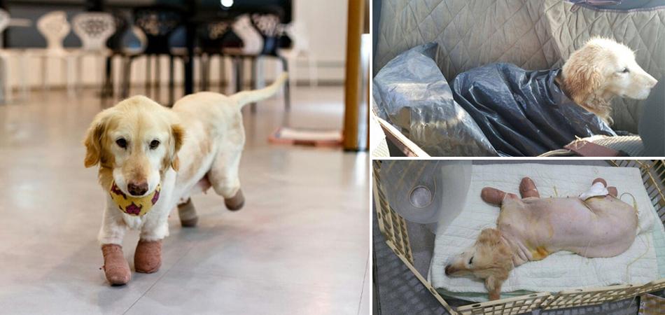 Este cachorro perdeu as 4 patas em uma matadouro na Coreia, mas acabou sendo adotado 2