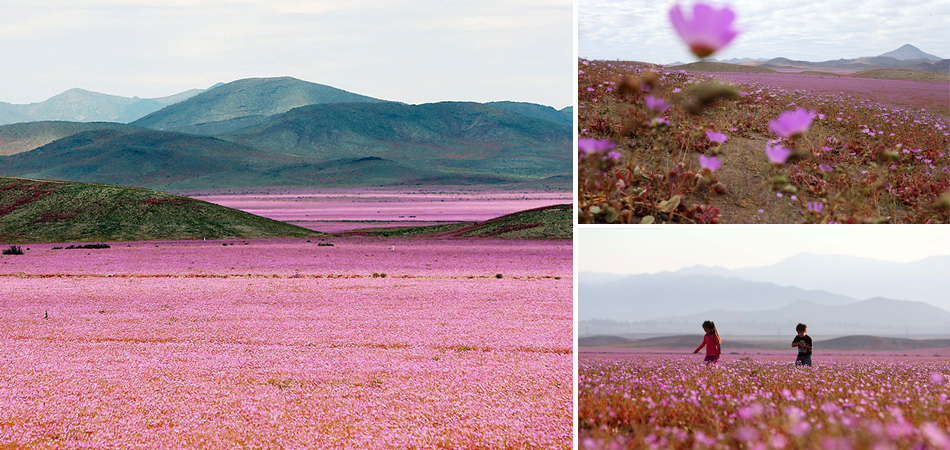 Isto é o que acontece quando chove no deserto mais seco do mundo 3