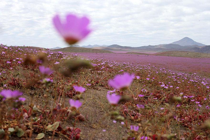 florecimiento-desierto-atacama-chile-1