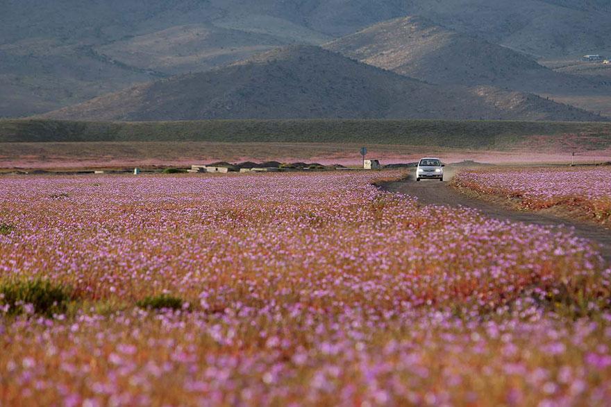florecimiento-desierto-atacama-chile-2