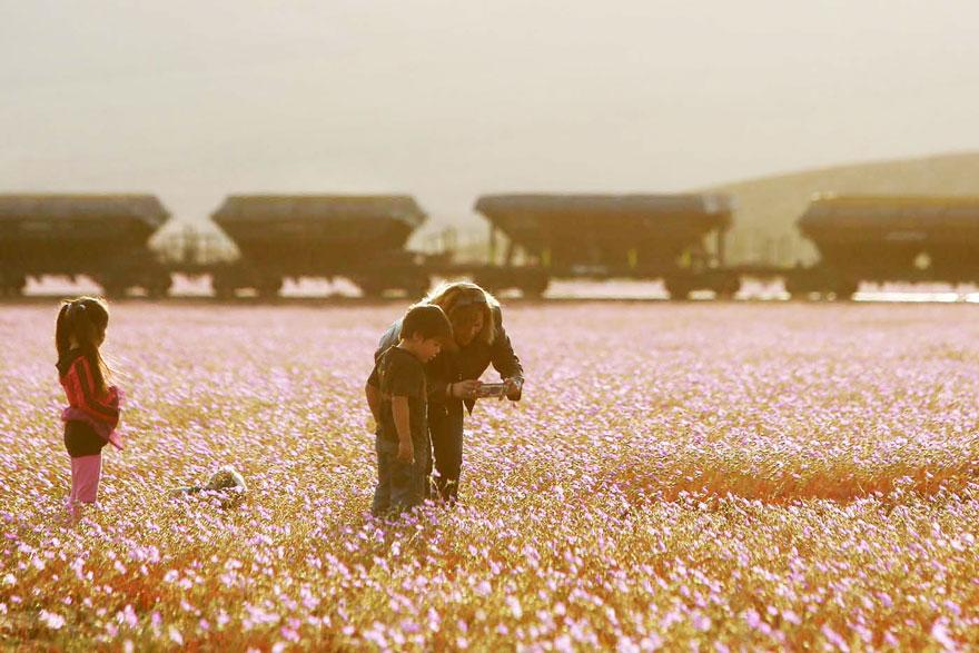 florecimiento-desierto-atacama-chile-3