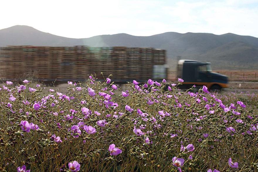 florecimiento-desierto-atacama-chile-4