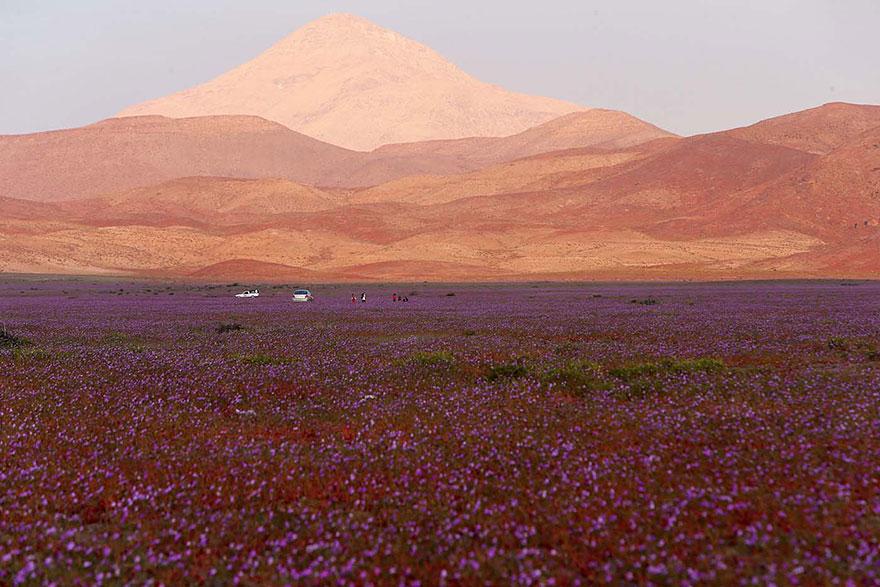 florecimiento-desierto-atacama-chile-5