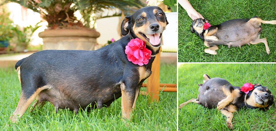 Ensaio com cadela prenha orgulhosa da sua barriga faz sucesso nas redes sociais 1