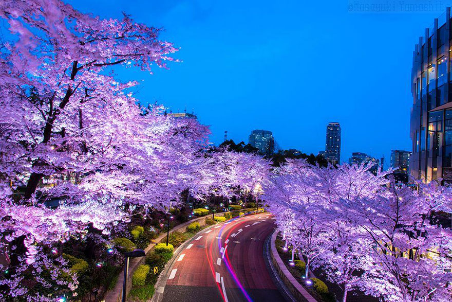 primavera-flores-cerezo-sakura-japon-national-geographic-3