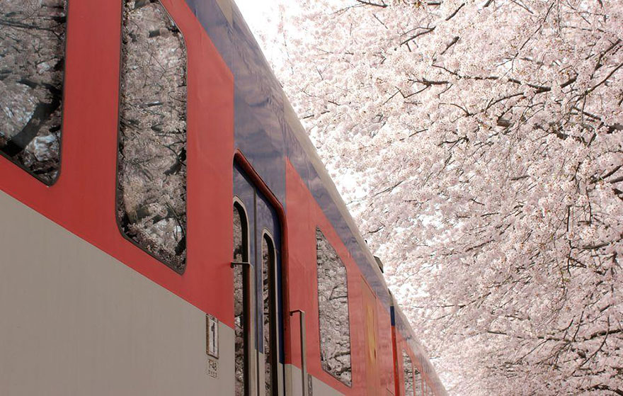 primavera-flores-cerezo-sakura-japon-national-geographic-5