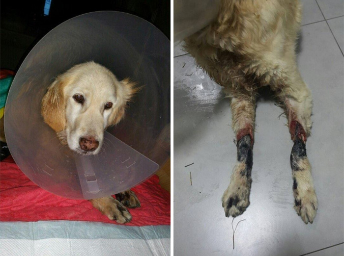 rescue-dog-leg-amputation-chichi-south-korea-22