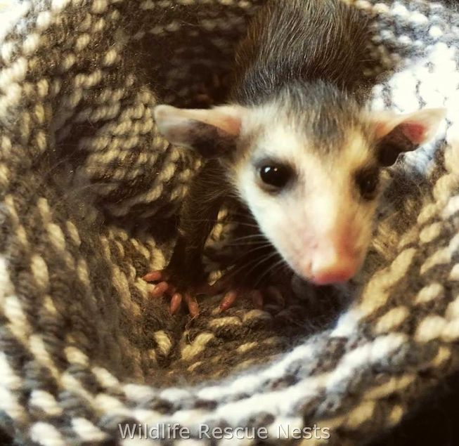 wildliferescuenests-opossums0.jpg.653x0_q80_crop-smart