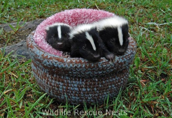 wildliferescuenests-skunk.jpg.653x0_q80_crop-smart