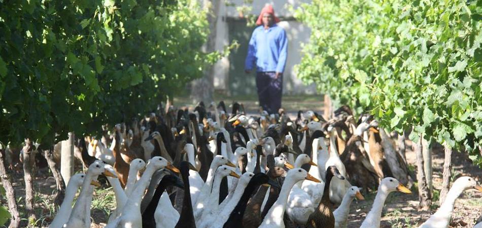 Em vez de agrotóxicos, vinícola usa patos para adubar plantações 1