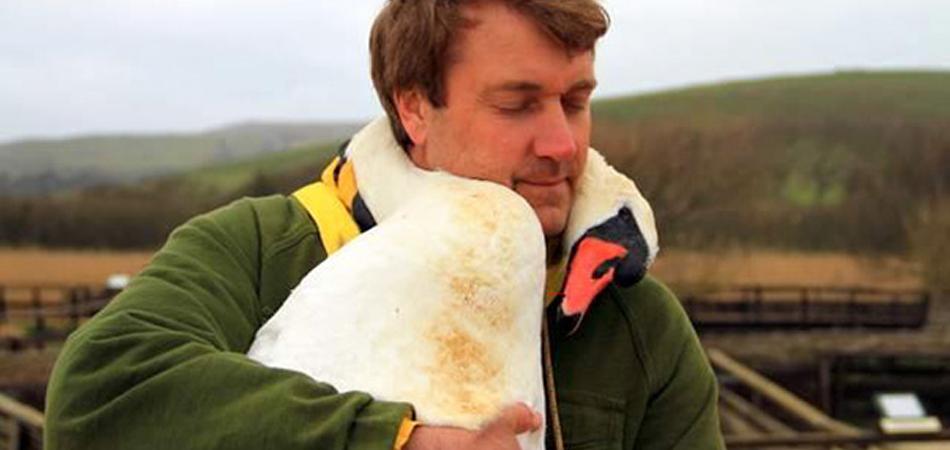 Cisne ferido abraça homem que o resgatou como agradecimento 1