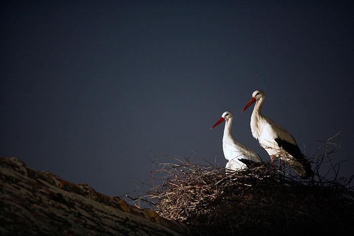 ciguena-vuela-miles-de-kilometros-por-amor-klepetan-malena-croacia-4