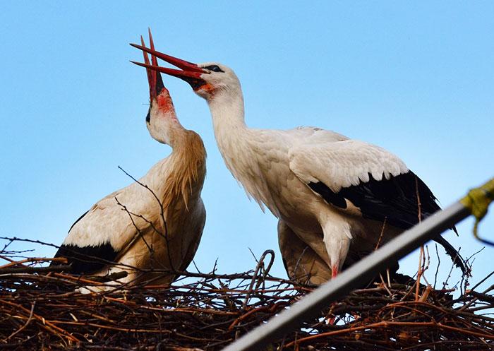 ciguena-vuela-miles-de-kilometros-por-amor-klepetan-malena-croacia-5