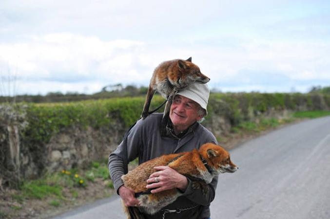 Raposas trocam vida selvagem pela companhia do homem que as salvou 1
