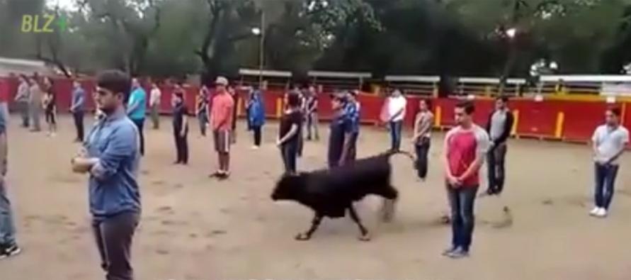 Experimento impactante mostra que touros só atacam quando são atacados 1