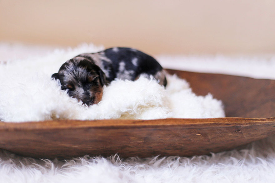 sausage-dog-maternity-photoshoot-puppies-1