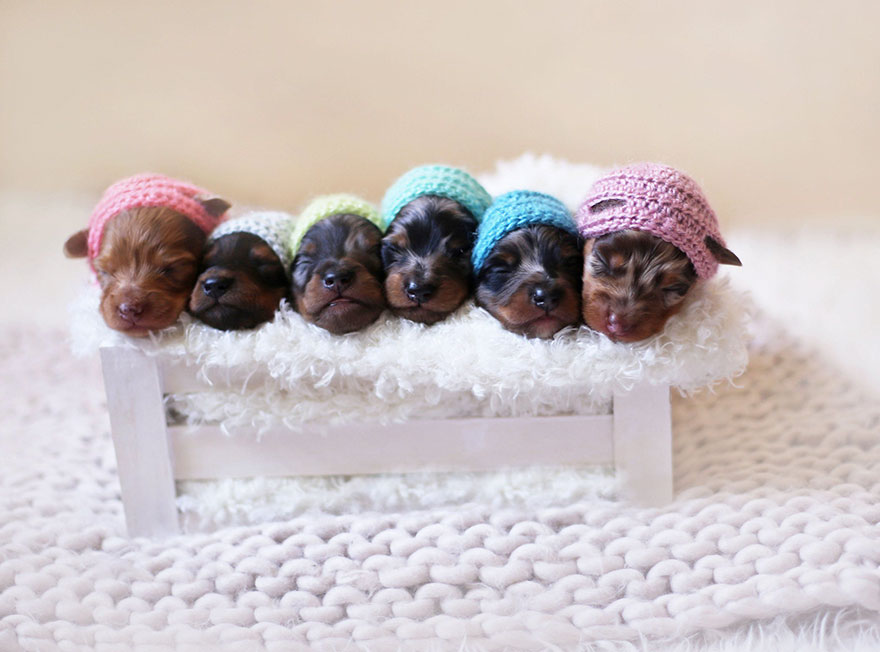 sausage-dog-maternity-photoshoot-puppies-4-1