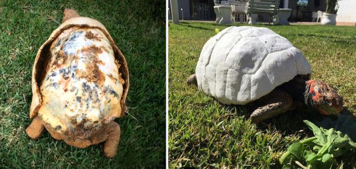 Tartaruga sobrevive a incêndio graças a casco feito por uma impressora 3D