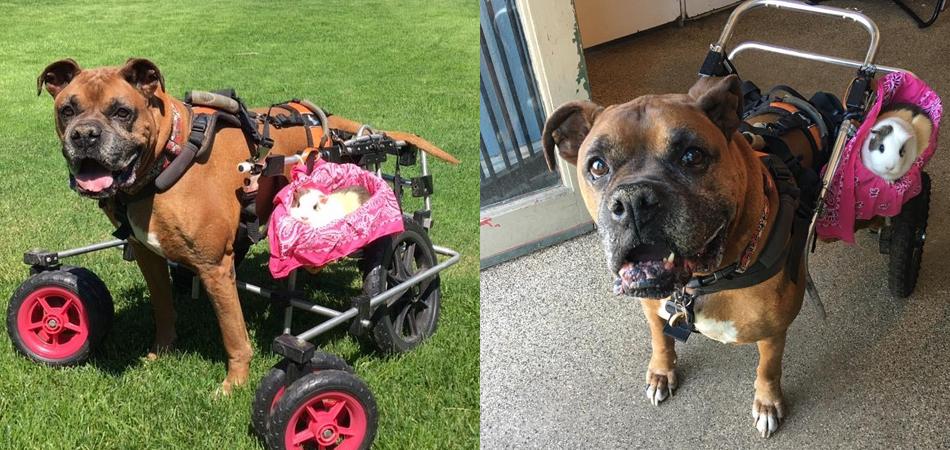 Cachorro idoso sem o movimento das patinhas leva melhor amigo a todos os lugares 2