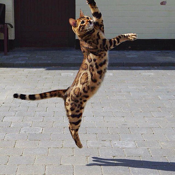 bengal-cat-spots-fur-thor-2