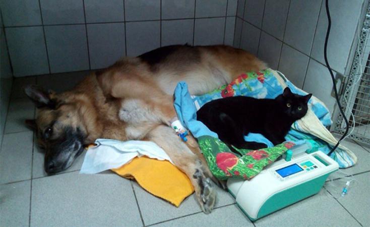 Gato enfermeiro que não consegue caminhar ajuda a salvar vidas de animais feridos e doentes 1